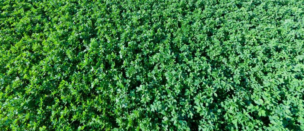 alfalfa  the most alkaline plant food